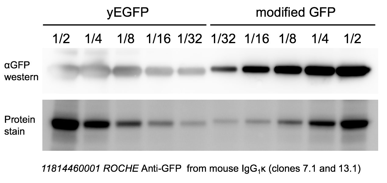 Western blotting of GFPs